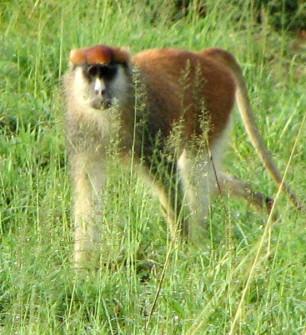 Pattas monkey