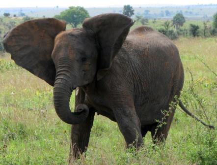 Elephant feels threatened so exhibits aggression toward us