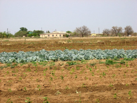 Food crops to sustain St. Phillips' orphanage.
