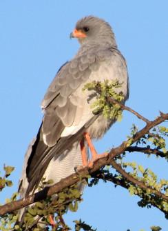 Pale Chanting Goshawk views the Kalahari Plains