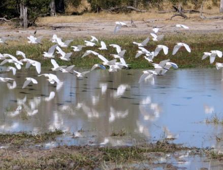 Cattle Egrets take flight