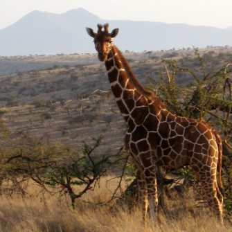 Giraffe poses with Mt. Kenya in distance, Lewa Downs, central Kenya