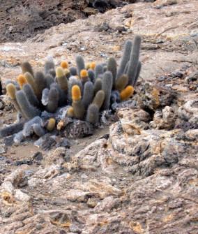 """Catcus growing in """"Pahoehoe"""" (frozen wave-like lava)"""