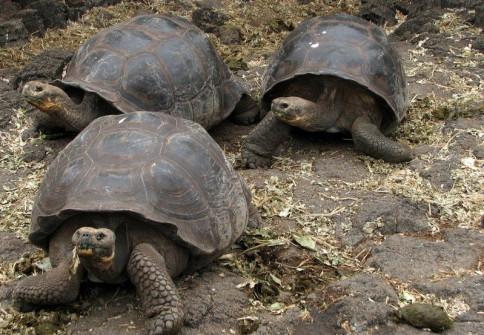 Me and my boys - Giant Tortoises, Darwin Station, Santa Cruz