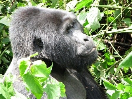 Uganda: Bwindi Impenetrable Forest to Trek Mountain Gorillas