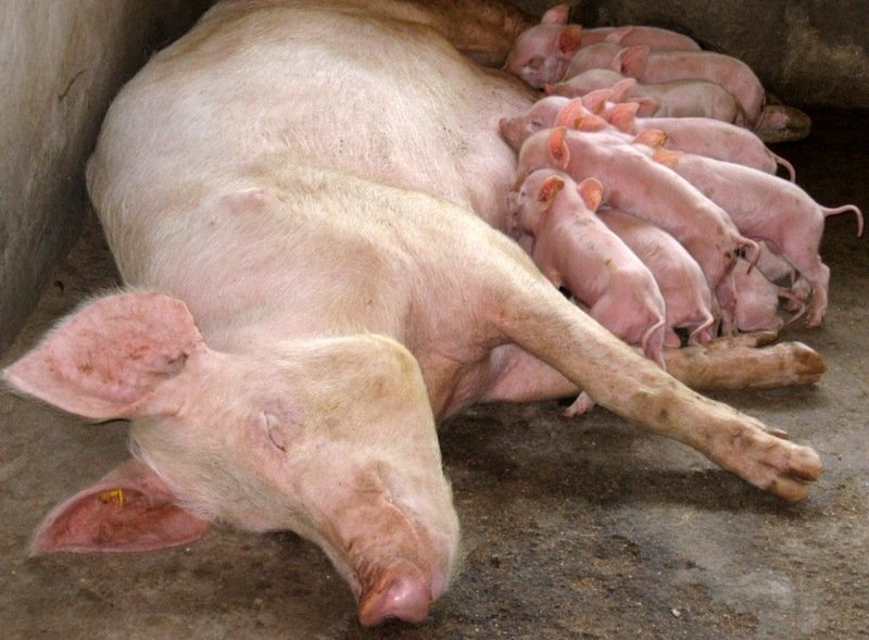 """Ghana Successes: Business of Breeding Pigs & Other """"Grasscutters"""""""