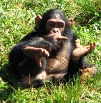 Uganda: Ngamba Island Chimp Sanctuary