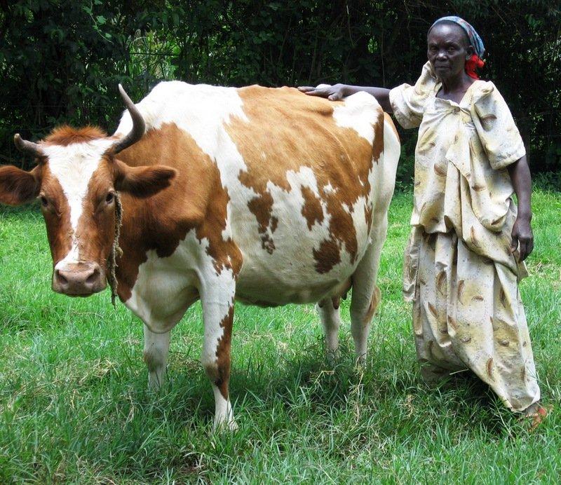Uganda Successes: Buikwe Dairy Cooperative