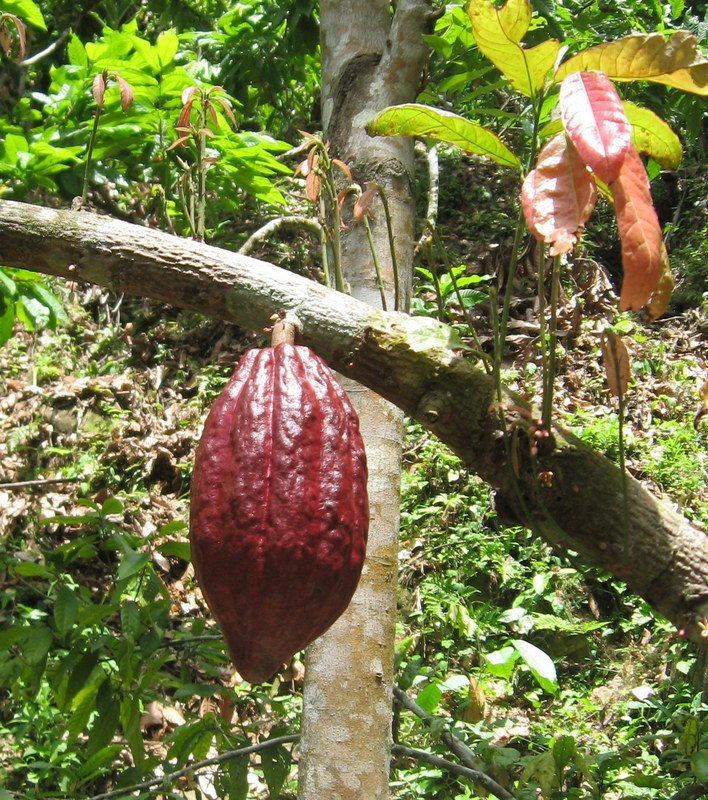 Honduras Successes: Ancient Indian Cocoa Grafted to Modern Cocoa