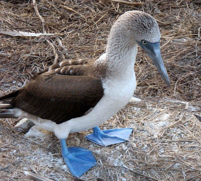 Galapagos Archipelago's Boobie, Frigates and More