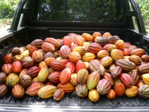 Colorful cocoa pods ready for processing, Apache, Honduras